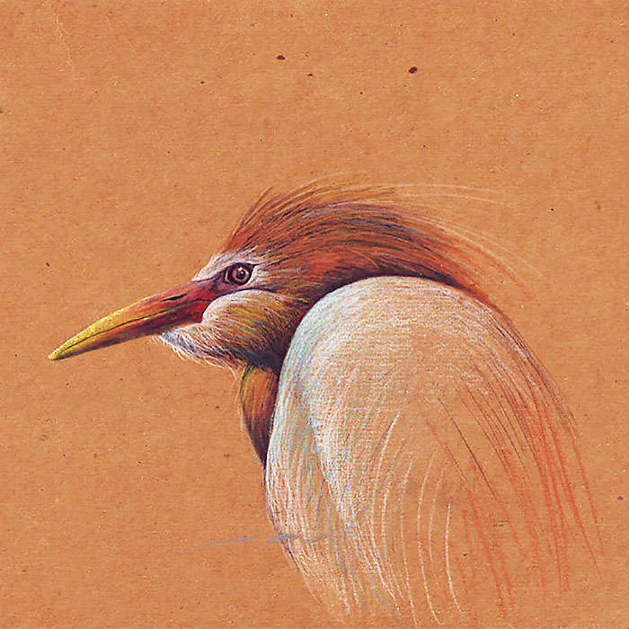 Cattle Egret by Don Wesley